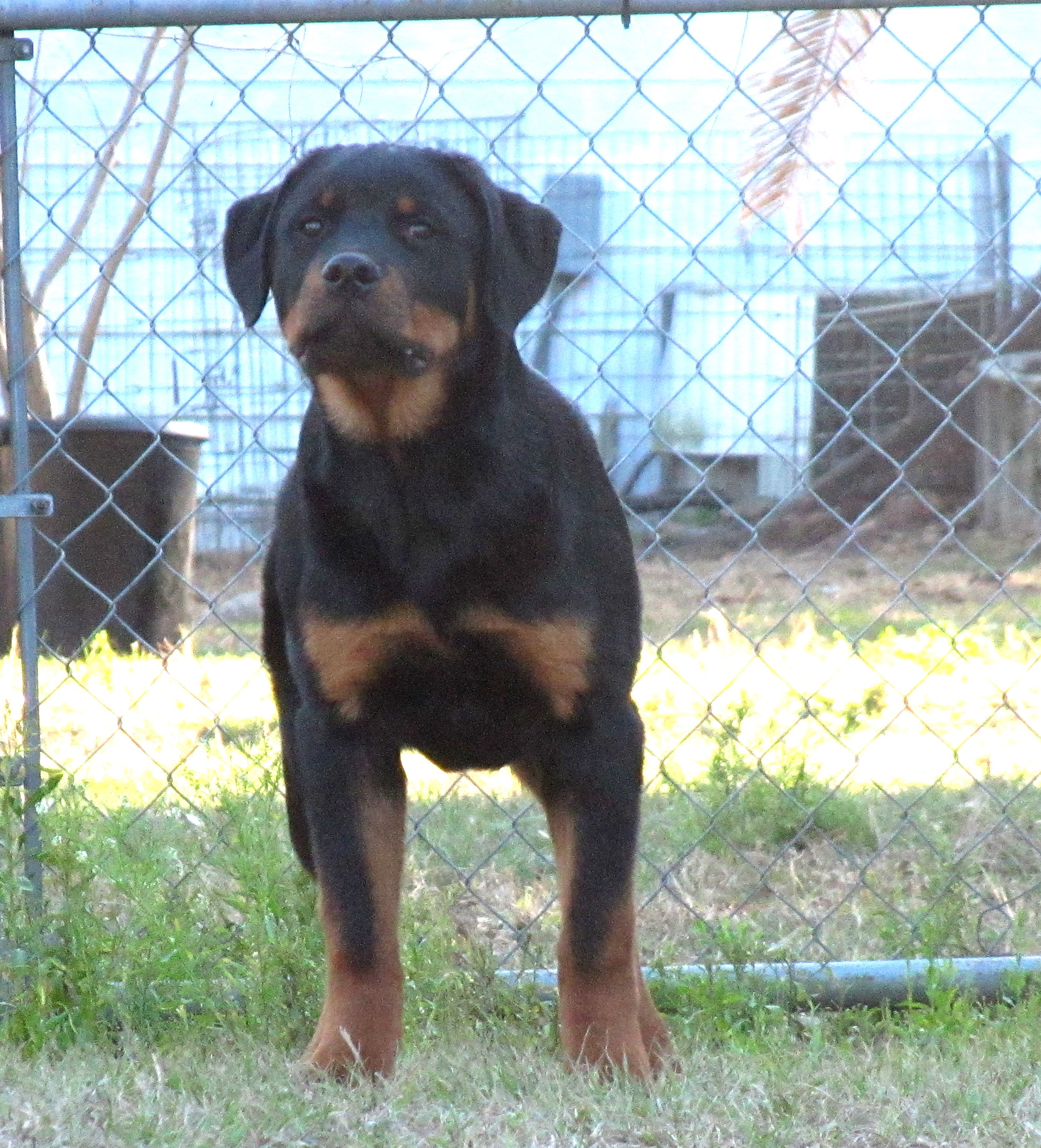 Alfalar Rottweiler Puppies For Saleflorida Rottweiler Breeder Trainer
